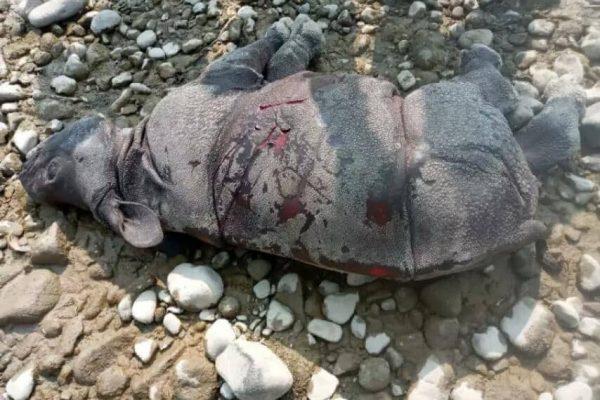 निकुञ्जमा पाँच महिनाको गैंडाको बच्चा मृत फेला